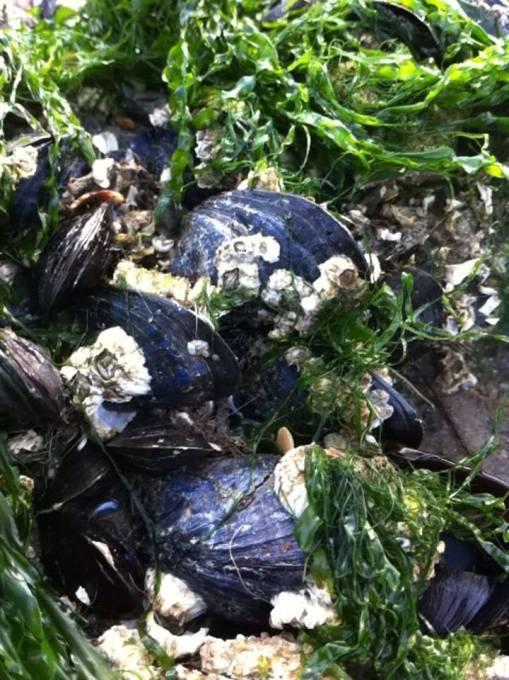 海邊的淡菜Moules
