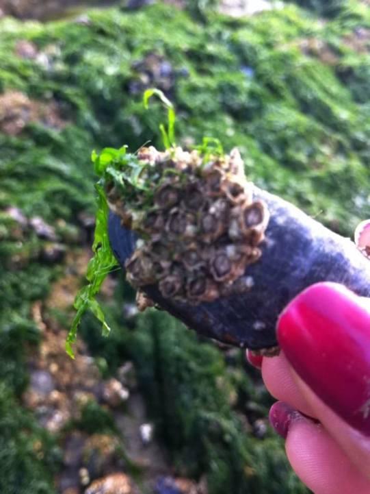 淡菜Moules上面這個到底叫什麼名字?