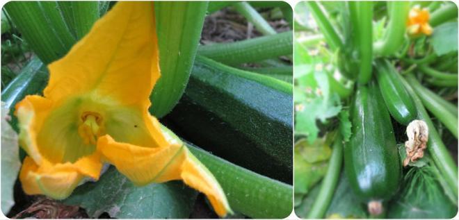 阿嬤菜園的大櫛瓜