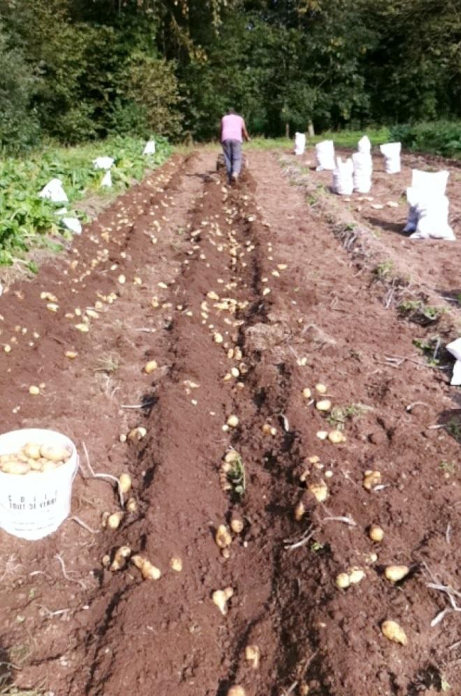 法國農事-播馬鈴薯的季節
