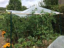 番茄種植開始茂盛長到棚外