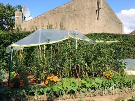 番茄種植已經到繁盛時期
