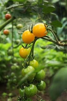 小番茄Tomates cerises