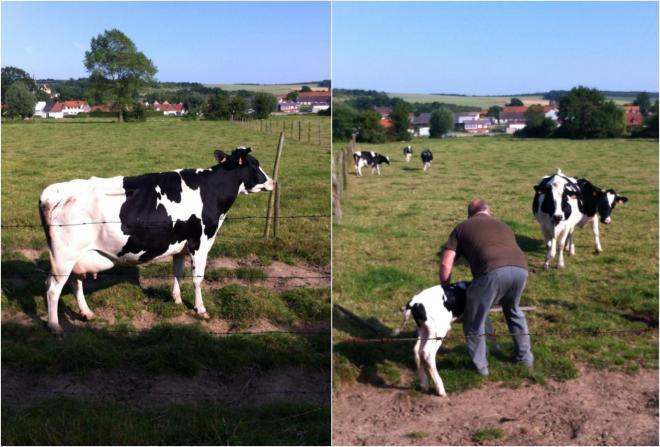 右:剛剛出生ㄧ小時的小牛,需要牛媽媽餵奶.但是;小牛站不太穩,牛媽媽還沒有習慣當媽媽正在適應中.