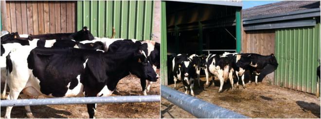 給牛兒們遮風避雨的牛舍