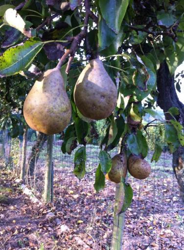 我家後院好吃的梨子