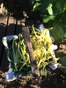 Haricots verts 四季豆