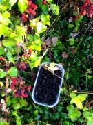 黑莓Mur