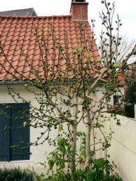 鄰居家無花果樹