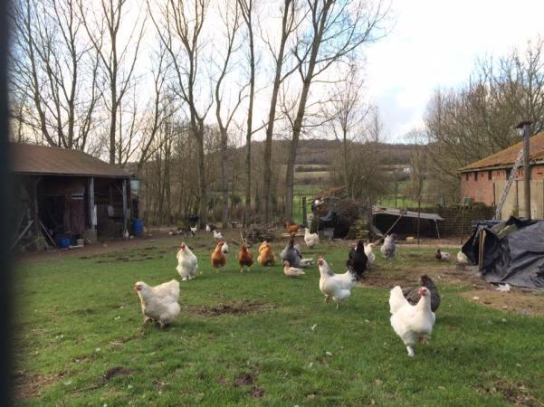 鄉村鄰居的雞隻