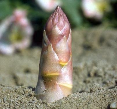 Photo par Asperges © Secrets de plantes