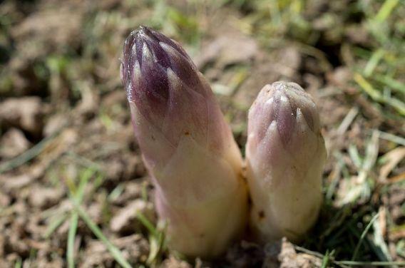 http://jardinews.fr/planter-des-asperges-cest-facile-productif-et-durable/