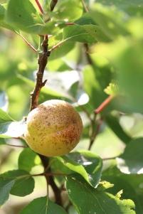杏桃樹-1