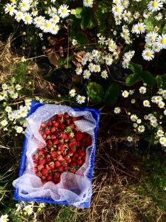 鄉村草莓園02