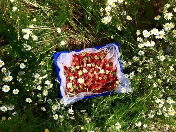 鄉村草莓園05