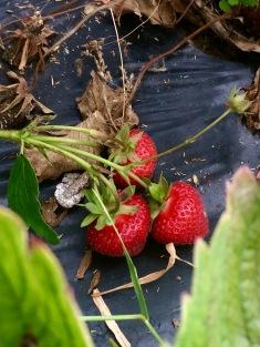 鄉村草莓園07